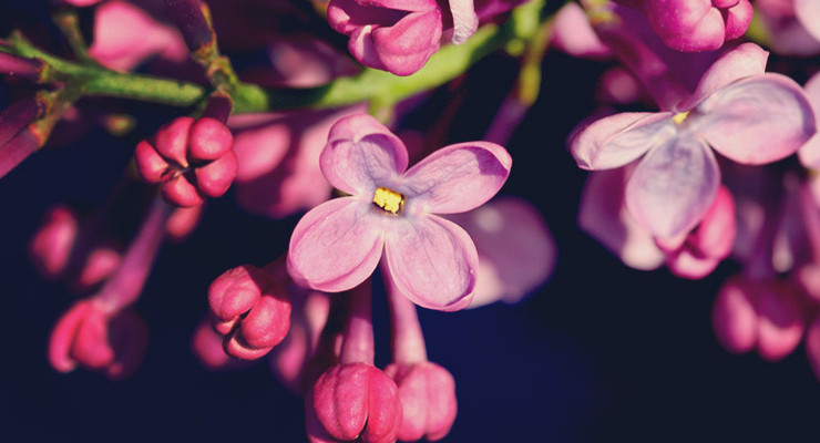 blog-lilac