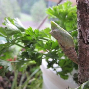 Eastern Black Swallowtail chrysalis