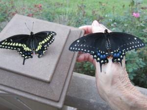 Eastern Black Swallowtail butterflies; Left – Male, Right - Female